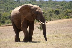 Olifant in Addo Elephant Park